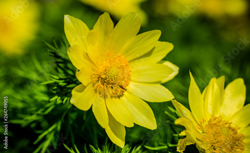 Photo Bright spring adonis flower. Spring nature of Europe