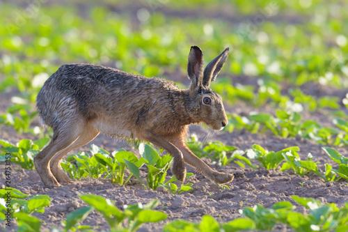 Photo European brown hare (Lepus europaeus) on field.