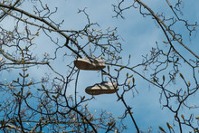Pair Of Shoes Hanging In Tree Isolated