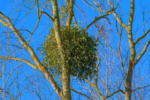 Fotografie, Obraz Mistletoe on tree, Wintertime, Germany, Europe