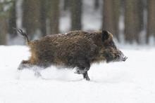 Runing Wild Boar (Sus Scrofa) ...