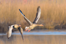 Greylag Geese, Anser Anser, Germany, Europe