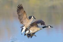 Fighting Canada Geese (Branta Canadensis), Germany, Europe