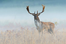 Fallow Deer (Cervus Dama) On Misty Morning, Autumn, Germany, Europe