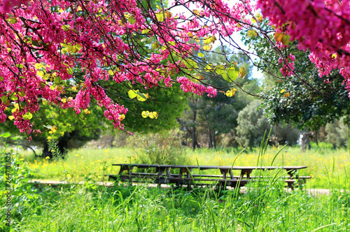 Photo  image of Spring pink blossoms tree in hte forest, park