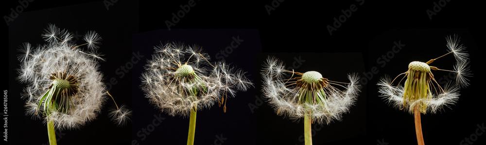 Fototapety, obrazy: Dandelions on a black background