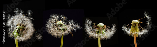 Fotografie, Obraz  Dandelions on a black background