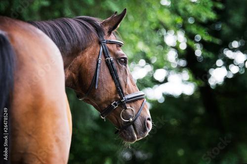 Fotografie, Obraz Bay warmblood gelding horse in summer with green bokeh