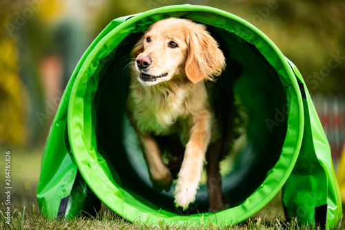dog agility golden hovawart Canvas Print