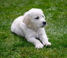 Cute English Golden Retriever Puppy