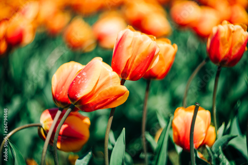 Tulips blossom. Mount Vernon, Washington, USA Canvas-taulu