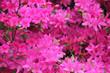 Leinwandbild Motiv Beautiful pink azalea flower background.