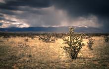 Cholla Cactus In The Southwest Desert