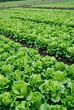 The lettuce grown in vegetable plots