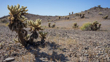 Teddy Bear Cholla Cactus In De...