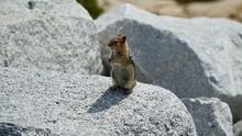 Chipmunk In Yosemite National Park