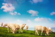 Vache Charolaise En Pâture