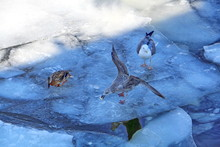 The Seagull Grabbed The Food Thrown By The Man, The Duck Is Afraid To Fight For Food, Another Seagull Stands Calm