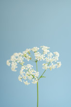 White Cow Parsley Flowers On B...