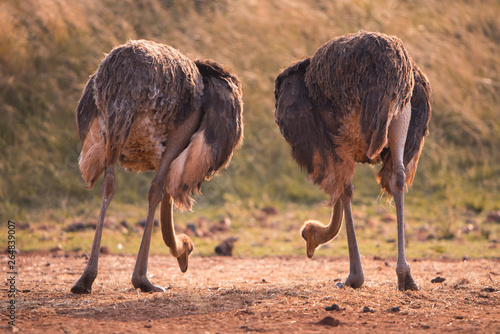 Foto op Canvas Struisvogel Two ostriches feeding, pictured from behind, South Africa