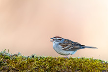 Sparrow Bird On A Mossy Log In...