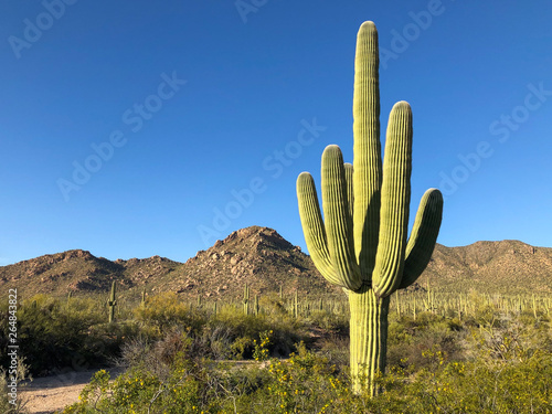 Photo sur Toile Cactus A large saguaro cactus dominates this arid Sonoran desert landscape