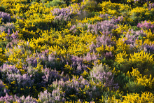 Mount With Gorse And Common Heather In Galicia (Spain) In Spring