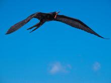 Magnificent Male Frigatebird Soaring Through The Blue Sky Near Galapagos Islands, Ecuador