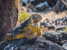 A Beautiful Male Land Iguana Spotted In Galapagos Islands, Ecuador