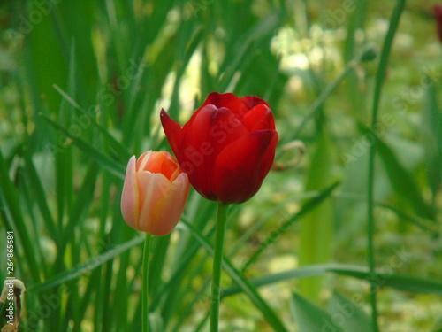 Wall Murals Tulip Coppia di tulipani