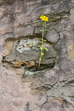 Yellow Flower Growing On Crack Grunge Wall. Yellow Beautiful Flower On Tall Green Stem Sprout Up On Old Cracked Wall. Symbol Of Strength And Hope.