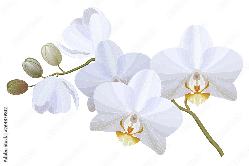Fototapety, obrazy: Vector realistic illustration of white orchid flowers on white background