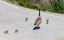 Canada Goose And Goslings Crossing The Road Two Goslings Decide To Stop And Rest In The Middle Of The Road