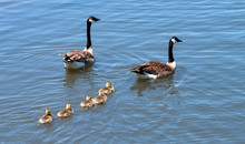 Canada Goose Family 2 Parents ...