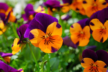 Orange And Purple Johnny-jump-...