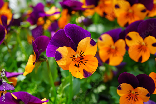 Fototapety, obrazy: Orange and purple johnny-jump-up pansy violet flowers