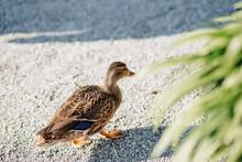 Wild Ducks Near The Water