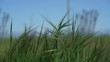 Grass Blowing in Wind Grass with Blue Sky Tall Green Grass - HD