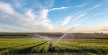 Onion Field With Irrigation In...