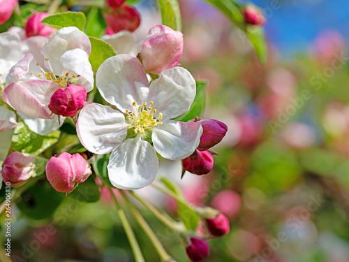 Fototapety, obrazy: Apfelblüten im Frühling