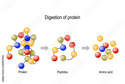 Digestion of Protein Wallpaper Mural