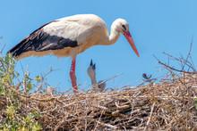 White Stork In The Nest Feedin...