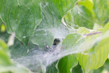 A Spider In Its Web On A Bush Caught The Victim