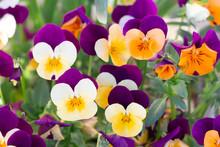 Viola Cornuta Violet Flowers