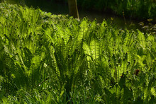 Ostrich Ferns Grow In The Fore...