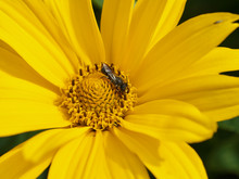 Bee Collects Nectar From A Yellow Orange Carnation Marigold Tagrtes Closeup Photo