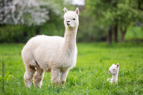 White Alpaca with offspring, South American mammal - fototapety na wymiar