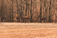 Herd Of Hind Walking And Running On The Meadow Near Forest In Spring Time