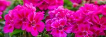 Geranien Panorama - Pinke Blumen