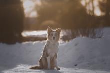 Border Collie In Winter Merle Sun